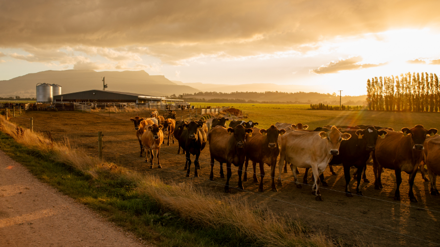 View of cows after milking