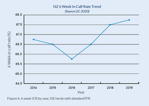 NZ 6 week in calf dairy cow